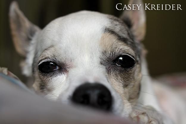 Buddy, my parents' 8-pound Chihuahua.