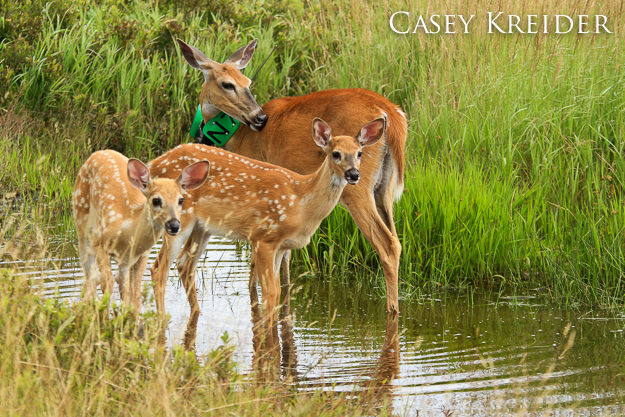 A doe and her two fawns pause at a watering hole at Big Meadows in Shenandoah National Park, July 28, 2013.