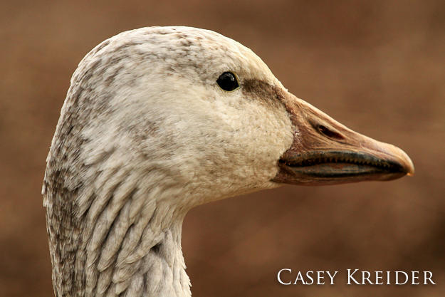 Profile of a snow goose at Middle Creek Wildlife Management Area, Feb. 24, 2012.