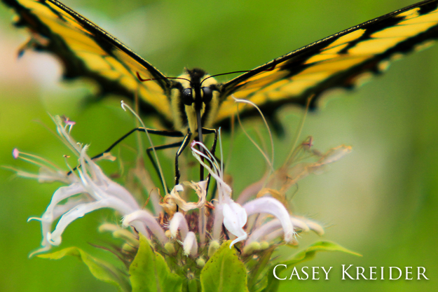 An Eastern Tiger Swallowtail gathers nectar from a flower, July 27, 2013.