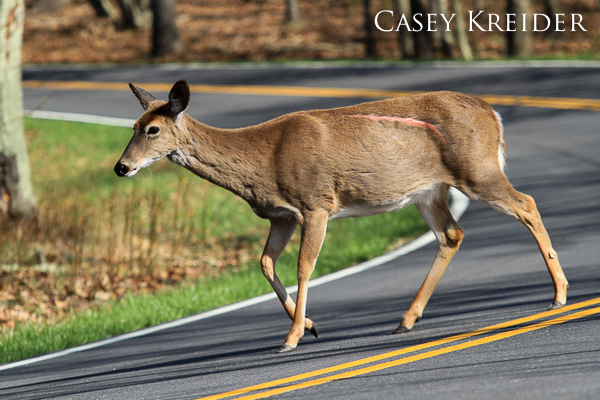 A deer with a large scar crosses Skyline Drive in Shenandoah National Park.