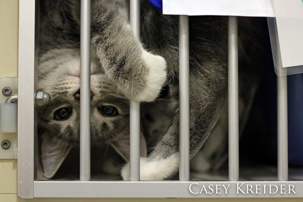 Playful kitten available for adoption at That Pet Place in Lancaster on Thursday afternoon.