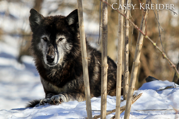 wolf wolf sanctuary blog 2