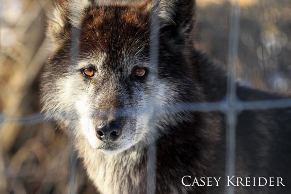 wolf wolf sanctuary blog 3