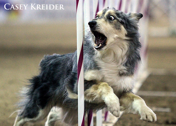 akc agility dog blog 6