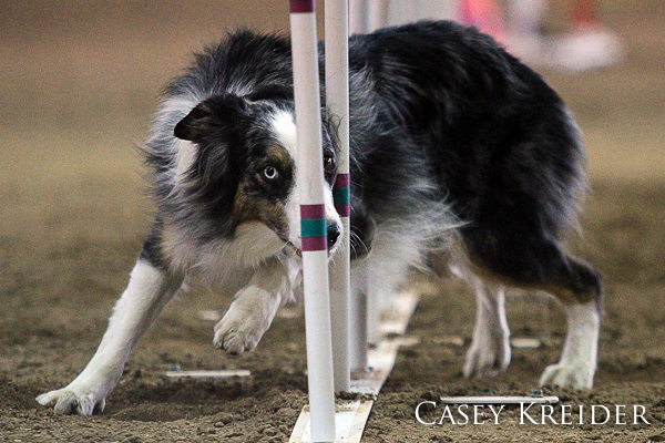 A couple photos from the American Kennel Club's National Agility Championships at the Farm Show Complex in Harrisburg.