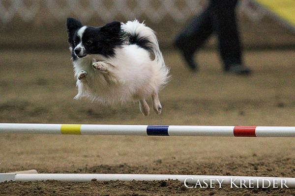 akc dog agility blog 4
