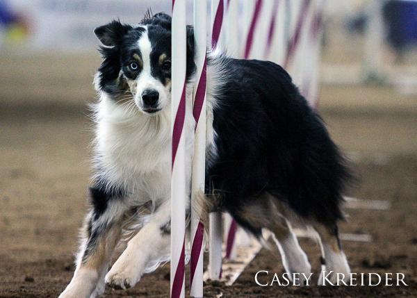 akc dog agility blog 5