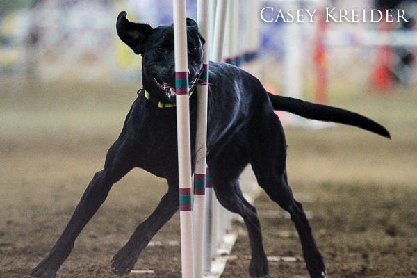 akc dog agility blog 7