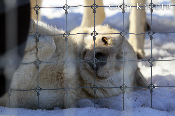 A wolf has his/her belly scratched through the fence at the Wolf Sanctuary of PA.