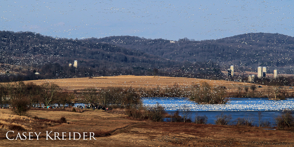 Snow geese begin to fly north from Middle Creek Lake late in the afternoon of March 15, 2014.