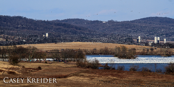 snow geese middle creek new blog 2