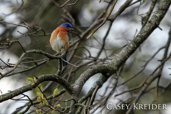 eastern bluebird middle creek blog-1