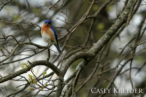 Eastern bluebird at Middle Creek Wildlife Management Area