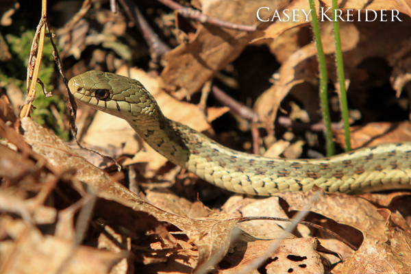 An eastern garter snake spotted on the Pinnacle and Pulpit Rock hike.