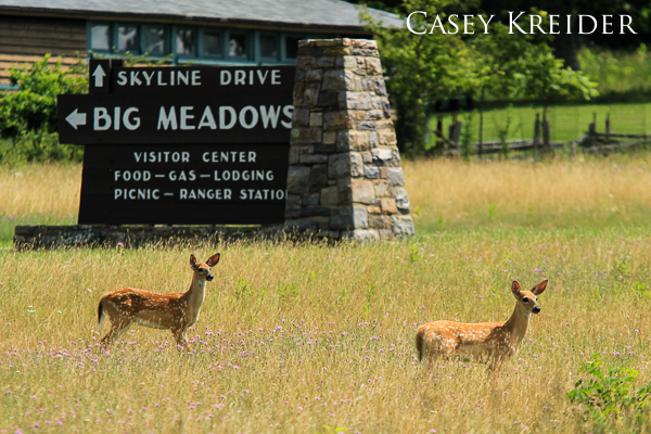 Two fawns look to locate their nearby mother at the Big Meadows lodge off Skyline Drive in Shenandoah National Park.
