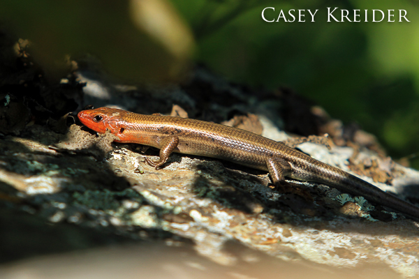 Male five-lined skink found just below the rocky summit of Bearfence Mountain (3,640 feet) in Shenandoah National Park.