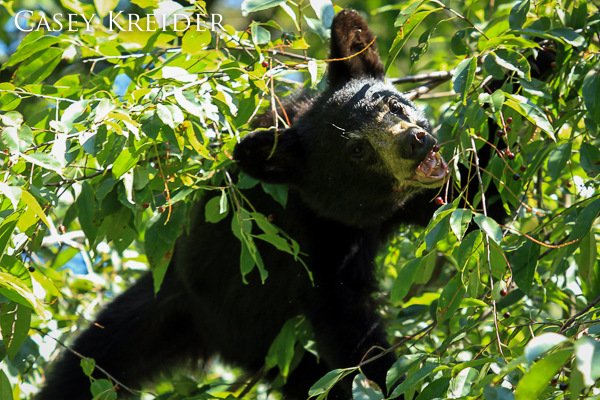A black bear cub enjoys a mid-day snack of berries from a tree along the shoulder of Skyline Drive in Shenandoah National Park's North District. A park ranger estimated the cub to be around 1 1/2 years old. No sign of the mother bear.