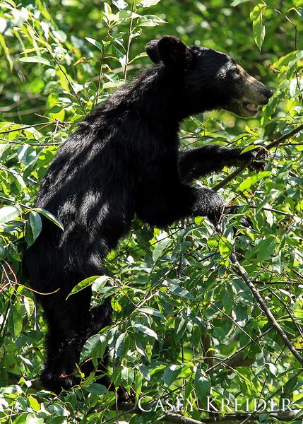 bearcub in tree snp blog 3