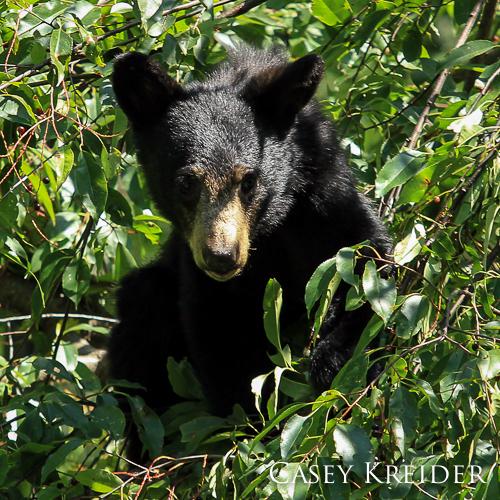 bearcub in tree snp blog 4