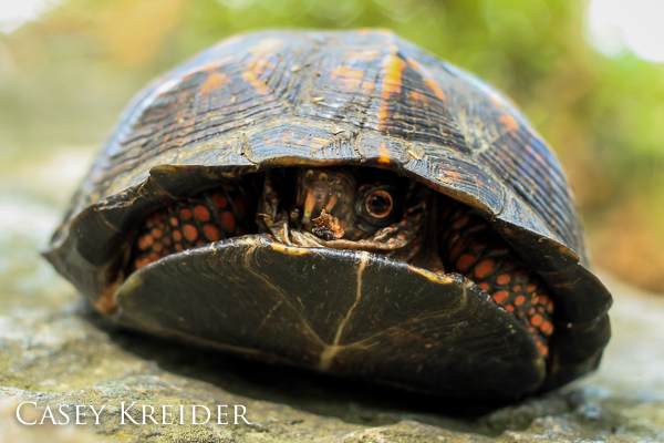 An eastern box turtle tucked inside its shell near the Pinnacle overlook in Holtwood.