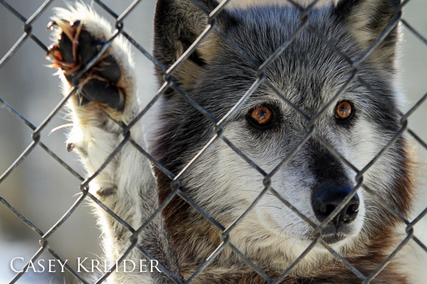 Photo from a winter tour at the Wolf Sanctuary of PA.