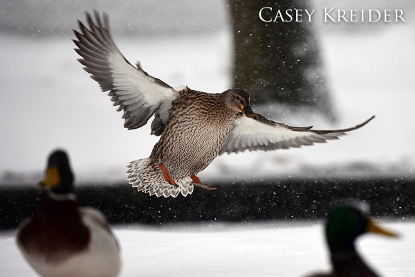 A duck flies in for a possible feeding at Lititz Springs Park Thursday morning.