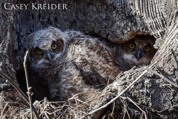 great horned owlets extra 1