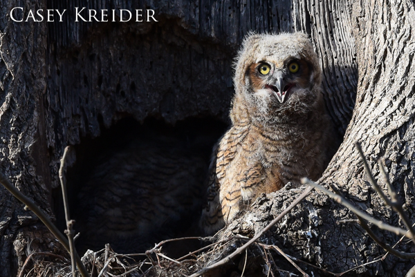 great horned owlets extra 2
