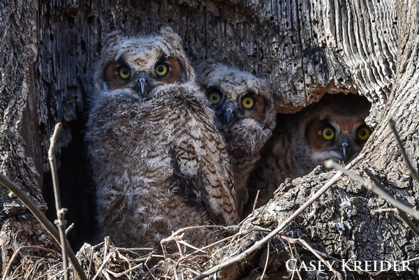 Great horned owlets occupy a nest above Cocalico Creek in Ephrata Borough. I unfortunately haven't been able to catch a glimpse of either parent.