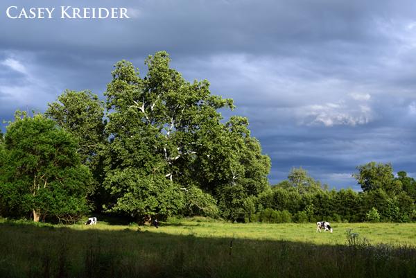 Cows graze in a meadow along Brunnerville Road
